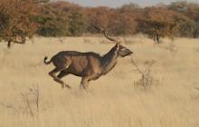 Crazy Kudu