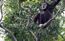 Gibbon eyes