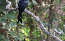 Racquest tailed Drongo lr
