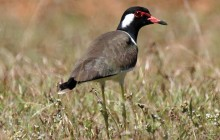 Red wattled lapwing - lr
