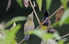 Sunbirds courting