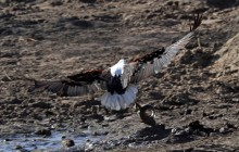 african fishing eagle with fish