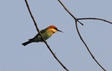 chestnut headed beeeater