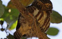 collared owlet lr