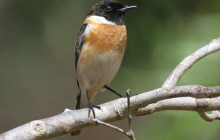 common stonechat - ky