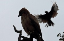 drongo buzzing
