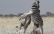fightig zebra