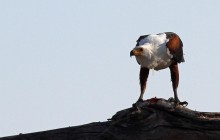 fishing eagle eating 2