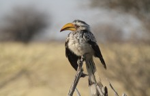 funny hornbill