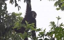 gibbon hanging 1