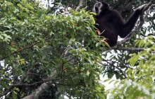 gibbon singing