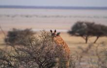 giraffe and salt pan