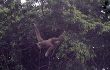 jumping gibbon