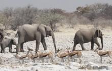 lion of elephants