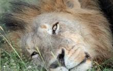 lr Majingelane lion