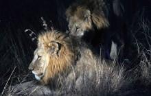 lr Majingelane lions