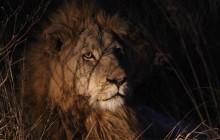 lr Male lion