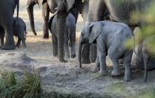 lr baby elephant with mum