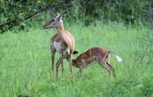 lr baby impala