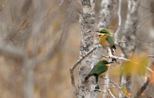 lr bee eaters