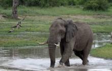 lr bull in water