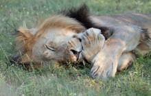 lr cute lion