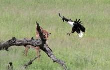 lr fish eagle landing