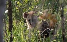 lr hyena cub