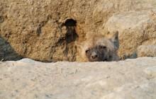 lr hyena cub at den