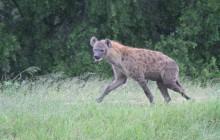lr hyena in rain