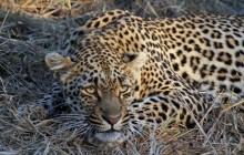 lr leopard