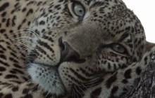lr leopard face