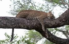 lr leopard in tree