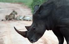 lr rhino with lions