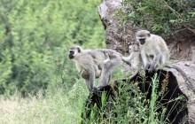 lr vervet monkeys
