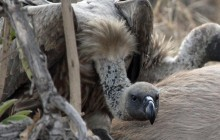 lr vulture