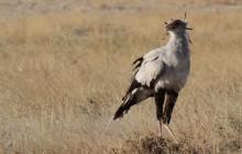 secetary bird