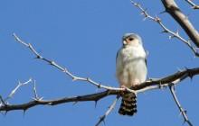 white falconet