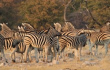 zebras milling about