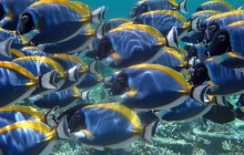 Blue Tangs Maldives