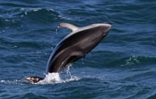 jumping dusky dolphin