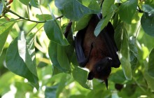 Fruit Bat Maldives