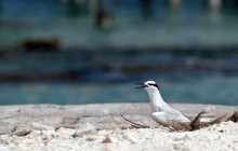 Black Naped Tern Maldives