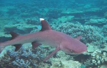 Whitetip Reef Shark Maldives