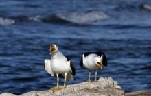 noisey gulls 1