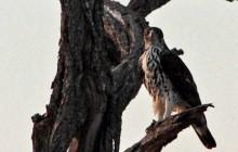 lr African Hawk Eagle