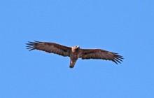 lr Walburgh Eagle