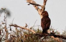 lr brown snake eagle