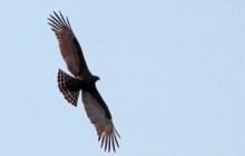 lr brown snake eagle flying