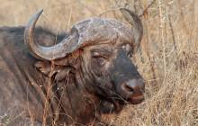 lr buffalo